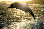 Bottlenose dolphin at sunset, South Africa   (Tursiops truncatus)