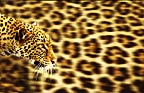 Leopard on leopardskin background (conceptual composite image)