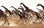 Herd of giraffes running, Etosha National Park, Namibia