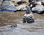 Nile crocodiles attacking zebra, Mara River, Africa