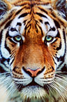 Tiger face, close-up (captive)