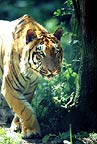 Tiger on the prowl (captive)