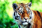 Tiger on alert (captive)