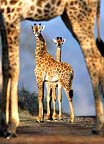 Giraffes framed by the legs of another giraffe, South Africa