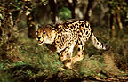 King cheetah running, South Africa