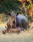 White rhinoceros and young, South Africa