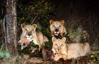 African lions at night-time kill, South Africa
