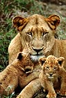 African lioness with cubs, South Africa