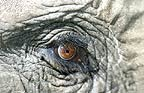 Close up of African elephant's eye