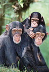 Chimpanzee family (captive)
