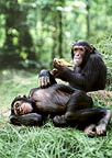 Two chimpanzees (captive)