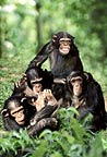 Chimpanzee group playing (captive)