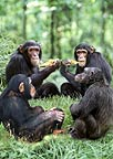 Chimpanzees eating together (captive)