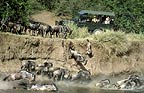 Tourists watching wildebeest jumping into Mara river during migration, Kenya