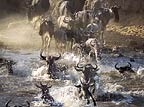 Wildebeest crossing Mara river on migration, Kenya