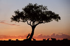 African lions and acacia tree silhouetted at sunset, Masai Mara, Kenya