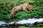 Marsh lioness jumping over water, Masai Mara, Kenya