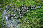 Aerial view of zebra herd running through swamp, Okavango Delta, Botswana