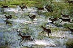 Aerial view of red lechwe running through water, Okavango Delta, Botswana