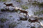 Red lechwe running through water, Okavango Delta, Botswana