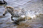 Burchell's zebracrossing Mara river during the Great Migration, Kenya