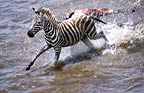 Burchell's zebracrossing Mara river on migration, Kenya