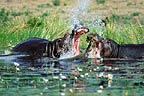Hippopotamus, with mouths open,  fighting amongst water lilies, Okavango, Botswana