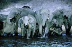 African elephant herd drinking at night, photographed from a boat, Chobe River, Botswana