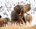 African elephants disturbing flock of birds, Savuti, Botswana