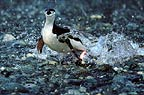 Chinstrap penguin running out of water, Antarctica