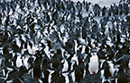 Chinstrap penguins, Hannah Point, Antarctica