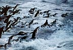 Chinstrap penguins in stormy seas, Hannah Point, Antarctica.