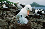 Black browed albatross and chick, Steeple Jason Island, Falklands
