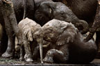 African elephant family wallowing in mud, Masai Mara, Kenya