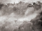Wildebeest crossing Mara River during the Great Migration, Kenya