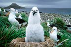 Black browed albatross Steeple Jason Falkland Islands