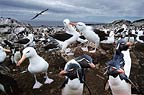 Black-browed albatross and rockhopper penguins, Steeple Jason Island, Falklands