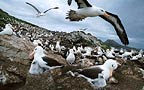 Black browed albatross, Steeple Jason, Falkland Islands