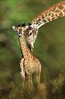Giraffe and young, South Africa