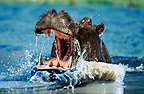Hippo with mouth open, threatening, Okavango Delta, Botswana