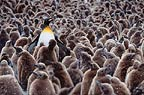 Adult King Penguin surrounded by King Penguin chicks, South Georgia.