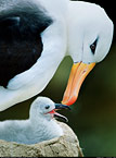 Black-browed albatross and chick, Steeple jason, Falkland Islands