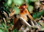 Male Proboscis Monkey, Tanjung Putting, Borneo
