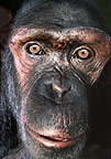 Close-up of chimpanzee's face (captive)