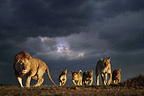 African lion family and stormy sky, Masai Mara, Kenya