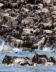 Two zebras in a herd of wildebeest