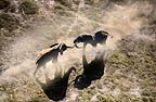Aerial view of African elephants fighting, Amboseli National Park, Kenya