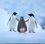 Adelie penguins with chick, Paulet Island, Antarctica.