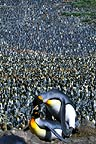 King Penguins mating, Salisbury Plain, South Georgia