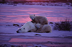 Polar bear mother with two cubs, Canada